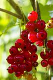 red currant grows on a bush in the garden, berry, harvest, summer, plant. royalty free stock photo