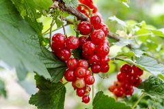 Red currant grows on a bush in garden. Ripe red currant close-up as background. Harvest the ripe berries of red currant. Bunch of. Red currant on a branch royalty free stock images