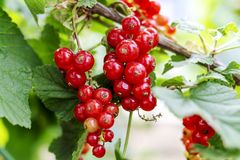 Red currant grows on a bush in garden. Ripe red currant close-up as background. Harvest the ripe berries of red currant. Bunch of stock image