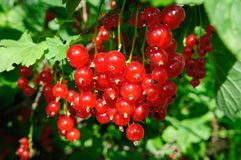 Red currant grows in the garden, close up. royalty free stock images