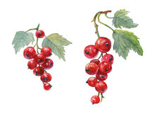 Red currant. Hand drawn watercolor painting royalty free illustration