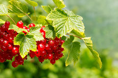 Red Currant hanging on a bush in the garden. Stock Image
