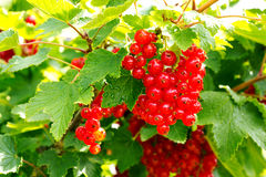 Red Currant hanging on a bush in the garden. Stock Photos
