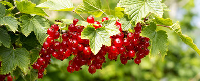 Red Currant hanging on a bush in the garden. Stock Photo