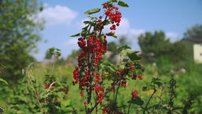 Red currant hanging on the tree. stock video footage