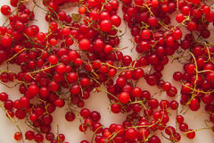 Red currant. Harvest of red currant berries royalty free stock photos