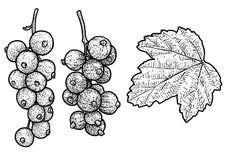 Red currant illustration, drawing, engraving, ink, line art, vector vector illustration