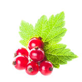 Red currant isolated Royalty Free Stock Photo