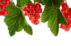 Red currant isolated on white background Stock Photos