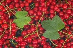 Red currant and leaf with dew Royalty Free Stock Photos