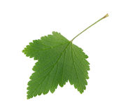 Red currant leaf Stock Images