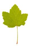 Red currant leaf Stock Photography