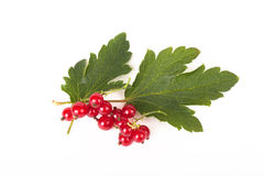 Red currant with leaves isolated on white background Royalty Free Stock Photo