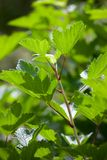 Red currant leaves. In sunshine at summer day stock photos
