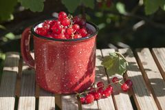 Red currant in a red mug on a bench. In the garden under a bush of red currant royalty free stock photography