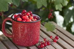 Red currant in a red mug on a bench. In the garden under a bush of red currant royalty free stock image