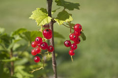 Red currant Royalty Free Stock Image