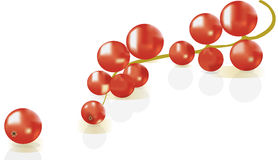 Red currant over white background Royalty Free Stock Images