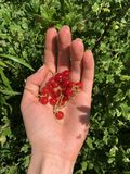 Red currant in the palm on the background of green. Bright summer photo.  stock photos