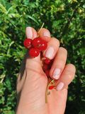 Red currant in the palm on the background of green. Bright summer photo.  royalty free stock image