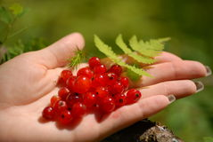 Red currant on a palm Royalty Free Stock Image
