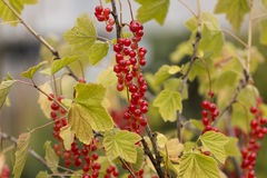 Red Currant Plant with colorful berries Stock Photo