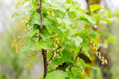 Red currant plant with unripe fruits Stock Photos