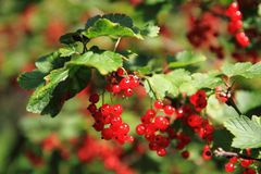 Red currant plat with fruits Royalty Free Stock Image