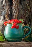 Red currant in a pot. On a grass in the garden stock image