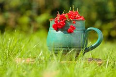Red currant in a pot. On a grass in the garden stock photos