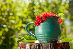 Red currant in a pot. On a stump in the garden stock photos