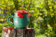 Red currant in a pot. On a stump in the garden royalty free stock image