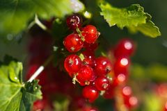 Red currant after rain Royalty Free Stock Photography