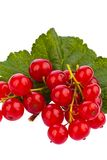 Red currant - red currant Royalty Free Stock Images
