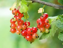 Red currant (Ribes rubrum) Stock Image