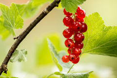 Red Currant (Ribes rubrum) Royalty Free Stock Photography