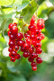 Red Currant (Ribes rubrum) Stock Photo