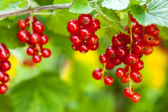 Red Currant (Ribes rubrum) Royalty Free Stock Photos