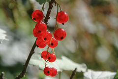 Red currant (Ribes rubrum) Stock Photography