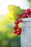 Red currant ripe fruit on plant branch on nature background. Stock Images