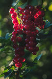 Red currant. Ripe red currant in the garden Stock Image