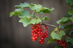 Red currant ripening on the branch Stock Photography