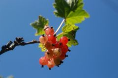 The red currant Stock Photos