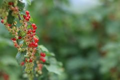Red currant. Smorodina - heralds you a long happiness in life, success in entrepreneurship, faithfulness of beloved, charming children to married people and Stock Images