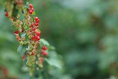 Red currant. Smorodina - heralds you a long happiness in life, success in entrepreneurship, faithfulness of beloved, charming children to married people and Stock Photography