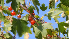 Red currant in the summer garden stock video
