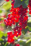 Red currant on a sunny day Royalty Free Stock Images
