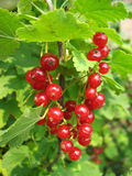 Red currant twig against on a bush Royalty Free Stock Image