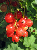 Red currant twig on a bush stock images