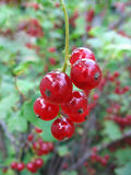 Red currant twig on the bush Stock Image